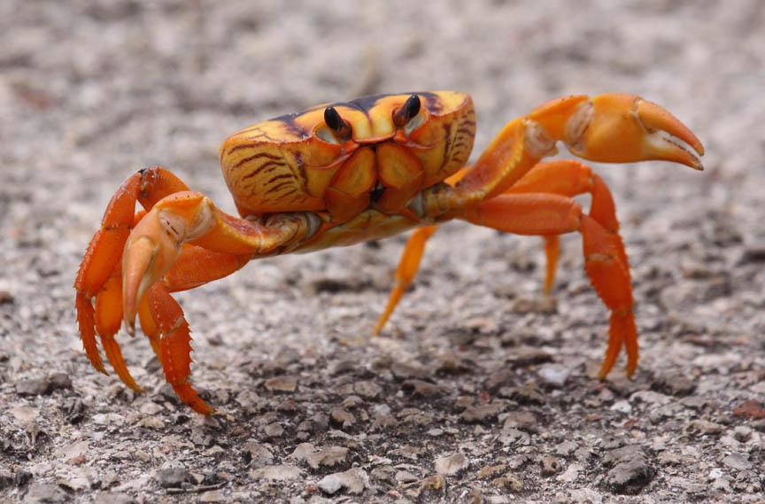 Cuban Land Crab | QCbirding Blog