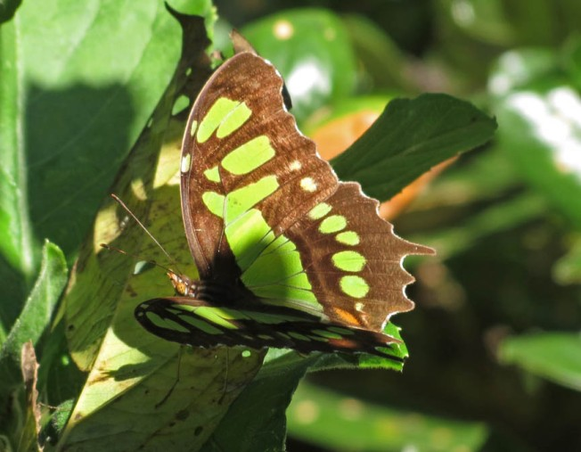 green brown butterfly 3