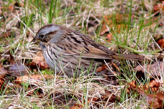 Lincoln's Sparrow May 2005 Quebec