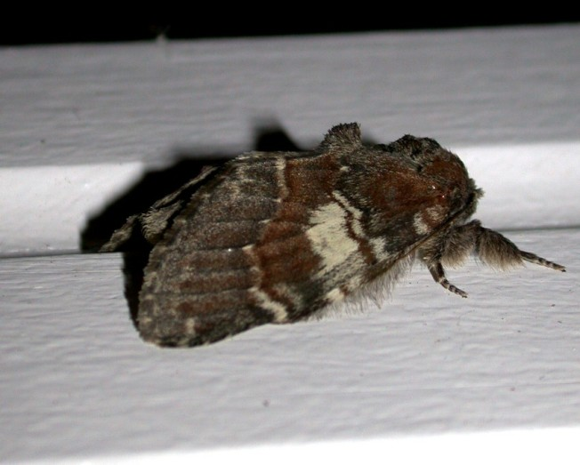Chocolate Prominent 3