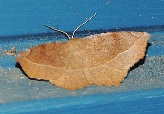 Curved-toothed Geometer