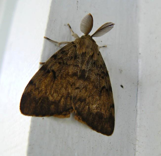 Gypsy Moth 2