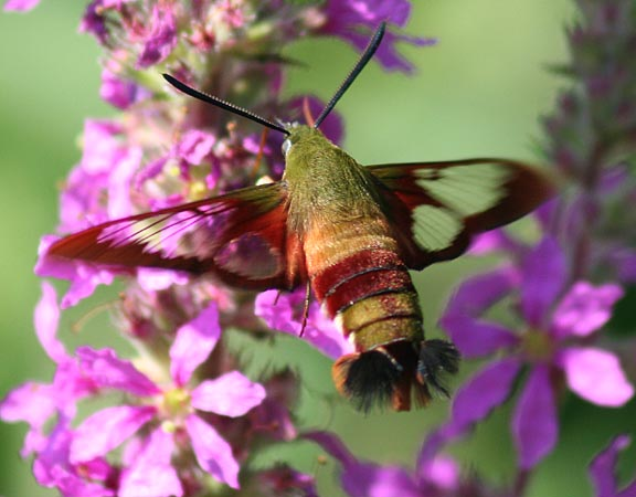Hummingbird Clearwing 2