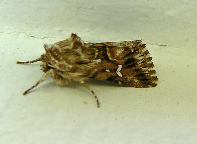 Pink-shaded Fern Moth 2