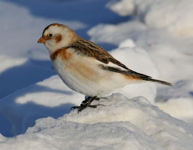 snowbuntjan07-2