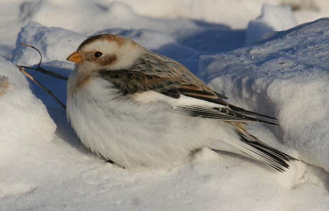 snowbuntjan07-3