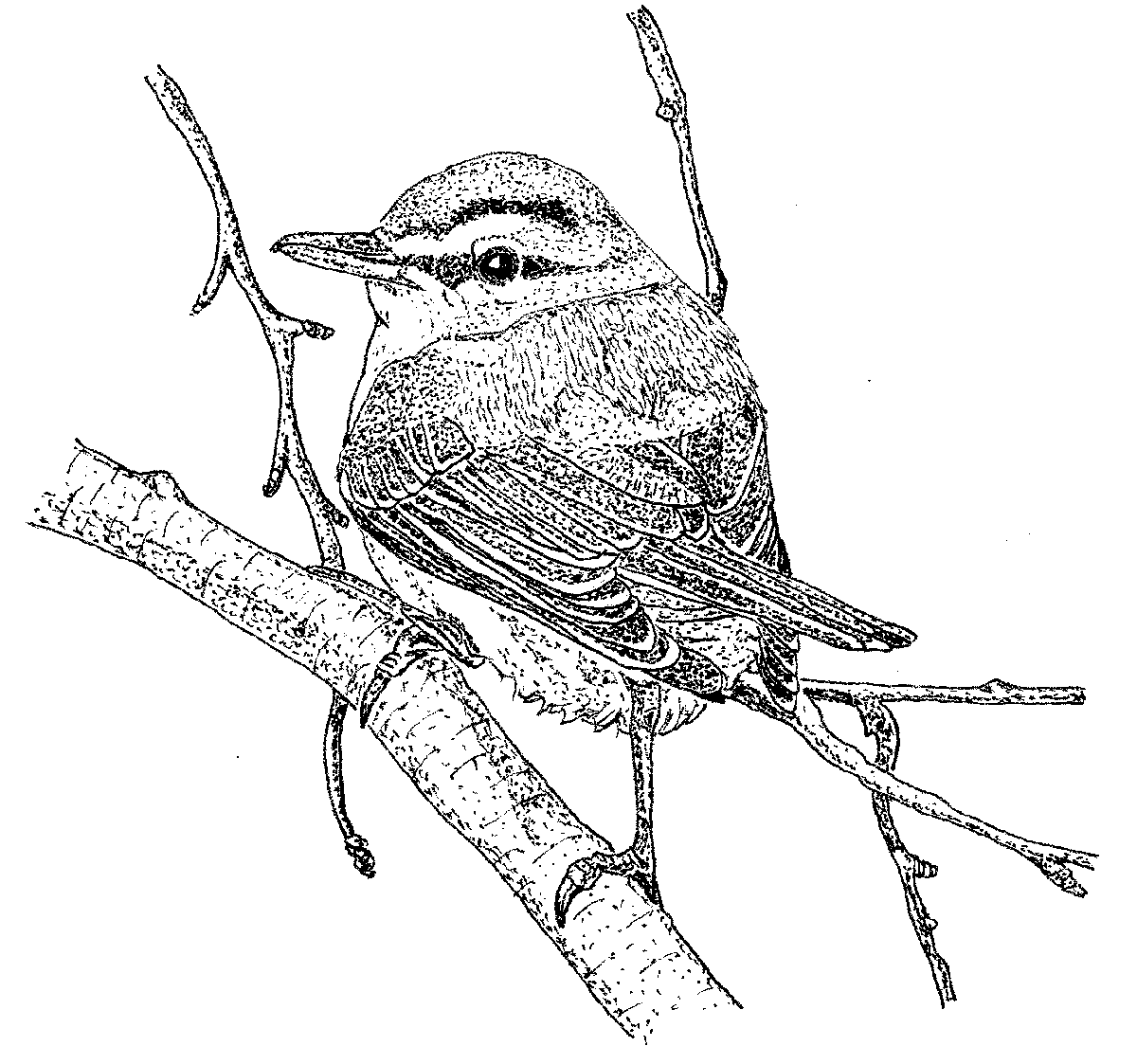 Free coloring pages of willow goldfinch for Meadowlark coloring page